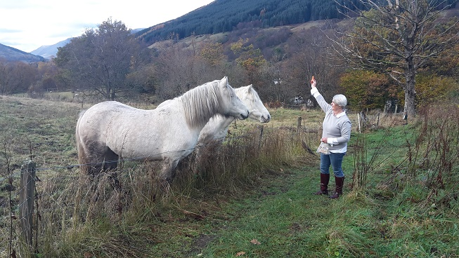 Who knew......Highland Ponies Love Carrots!