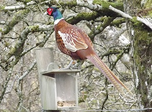 The Pheasant and the squirrel feeder