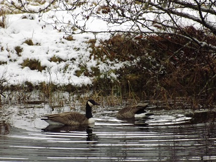 Canada Geese in the Otter Pond near Balquhidder Mhor Lodge